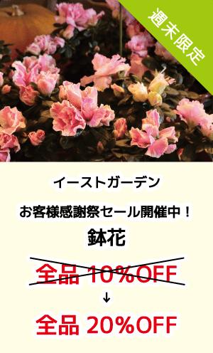 イーストガーデン_お客様感謝祭セール開催中!_鉢花_全品20%OFF