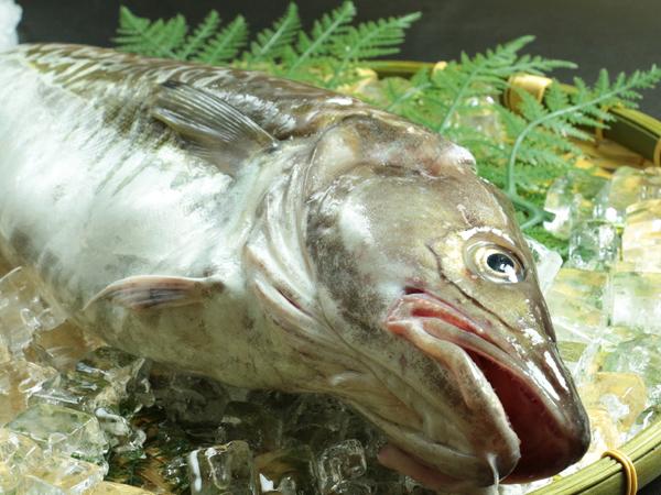 渡憲_宮城県石巻産真鱈