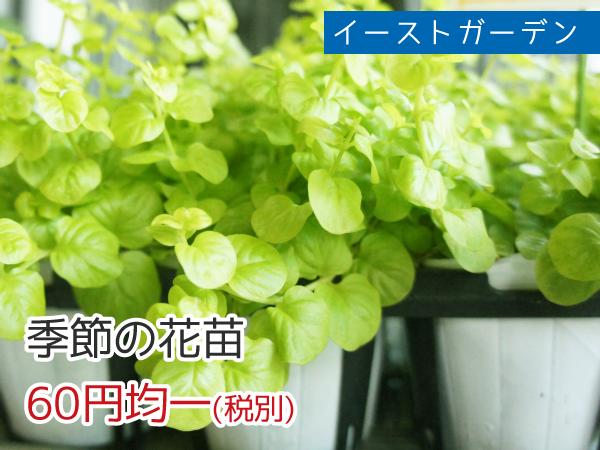 イーストガーデン 季節の花苗 60円均一(税抜)